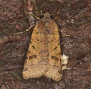 73.186 Beaded Chestnut, Agrochola lychnidis