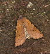 Beaded Chestnut, Agrochola lychnidis, Co Louth