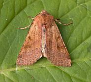 73.186 Beaded Chestnut, Agrochola lychnidis, Co Wexford