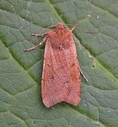 73.186 Beaded Chestnut, Agrochola lychnidis, Co Wicklow