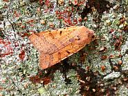 73.186 Beaded Chestnut, Agrochola lychnidis, Co. Meath