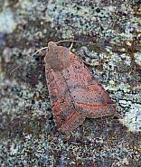 Red-line Quaker, Agrochola lota, Co Donegal
