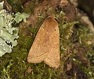 73.190 Yellow-line Quaker, Agrochola macilenta, Co Louth