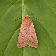 73.190 Yellow-line Quaker, Agrochola macilenta, Co Wicklow