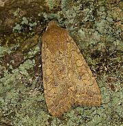 73.192 Brick, Agrochola circellaris, Co Louth