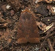 73.195 Dark Chestnut, Conistra ligula