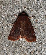 Dark Chestnut, Conistra ligula, Co Leitrim