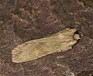 73.201 Pale Pinion, Lithophane hepatica, Co Louth