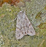 73.202 Grey Shoulder-knot, Lithophane ornitopus, Co Wexford