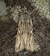 73.206 Blair's Shoulder-knot, Lithophane leautieri, Co Louth