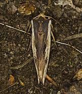 73.209 Red Sword-grass, Xylena vetusta, Co Louth