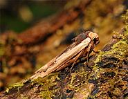 73.209 Red Sword-grass, Xylena vetusta, Co Wexford
