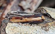 Red Sword-grass, Xylena vetusta, Co Leitrim