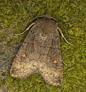73.210 Satellite, Eupsilia transversa, Co Louth