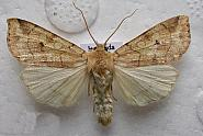 73.211 Angle-striped Sallow