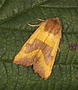 73.219 Centre-barred Sallow, Atethmia centrago, Co Armagh