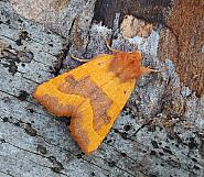 Centre-barred Sallow, Atethmia centrago, Co Leitrim