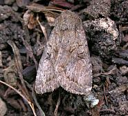 73.222 Dingy Shears Apterogenum ypsillon, Co. Wicklow