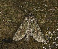 73.225 Brindled Green, Dryobotodes eremita, Co Louth
