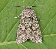 73.225 Brindled Green, Dryobotodes eremita, Co Wicklow