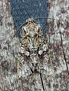 73.225 Brindled Green, Dryobotodes eremita, Co Leitrim