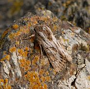 73.230 Feathered Brindle, Aporophyla australis, Co Wexford