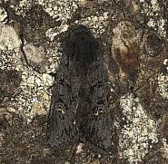 73.233 Black Rustic, Aporophyla nigra, Co Louth