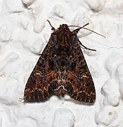 Dark Brocade, Mniotype adusta, Co Leitrim