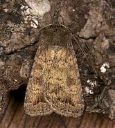 Mottled Rustic, Caradrina morpheus, Co Louth