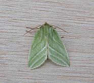 74.008 Green Silver-lines, Pseudoips prasinana, Co Wicklow