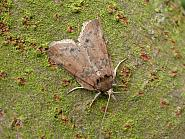 74.009, Oak Nycteoline, Nycteola revayana, Co. Meath