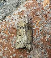 74.009 Oak Nycteoline, Nycteola revayana, Co Donegal