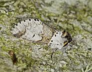 71.005 Sallow Kitten, Furcula furcula, Co Louth