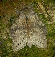Dicranurinae: Lobster Moth (71.009)