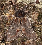 Notodontinae: Marbled Browns & Prominents (71.010-71.023)
