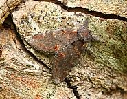 Iron Prominent, Notodonta dromedarius, Co Donegal