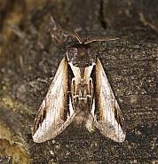 Lesser Swallow Prominent, Pheosia gnoma, Co Louth