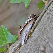 71.018 Lesser Swallow Prominent, Pheosia gnoma, Co Wexford