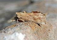 71.020 Pale Prominent, Pterostoma palpina, Co Sligo