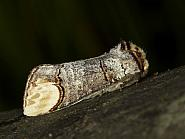 Buff-tip, Phalera bucephala, Co Louth
