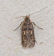 28.010 Hofmannophila pseudospretella, Brown House Moth