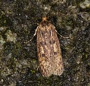 28.010 Brown House Moth, Hofmannophila pseudospretella, Co Louth
