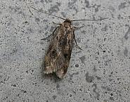 28.012 Borkhausenia fuscescens, Co. Meath