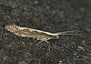 18.001 Diamond-back Moth, Plutella xylostella, Co Louth
