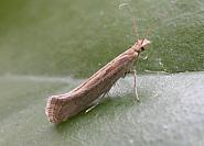 18.001 Diamond-back Moth, Plutella xylostella, Co. Cork