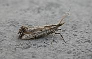 18.003 Plutella porrectella, Co. Meath