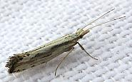 18.003 Plutella porrectella, Co. Westmeath