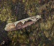 18.006 Rhigognostis incarnatella, Co Louth