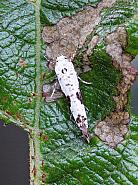 22.002 Ash Bud Moth, Prays fraxinella, Co Donegal