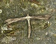 45.006 Hoary Plume, Platyptilia isodactylus, Co Louth